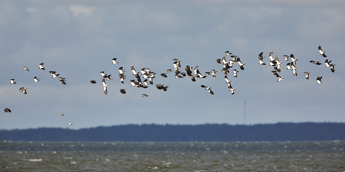 Lapwing migration